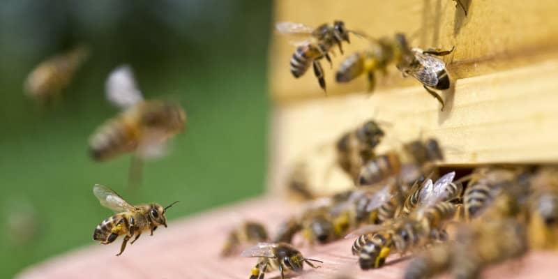 Bees (Apidae spp.) - Pest Solutions - Pest Prevention Glasgow