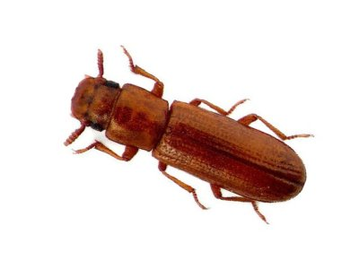 Broadhorned Flour Beetle (Gnatocerus Cornutus) - Pest Solutions - Pest Control
