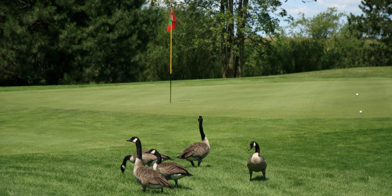 Canada Geese (Branta canadensis) - Pest Solutions - Pest Prevention