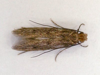 Case-Bearing Clothes Moth (Tinea pellionella) - Pest Solutions - Pest Control