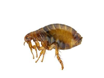 Cat Fleas (Ctenocephalides felis) - Pest Soluitons - Pest Control