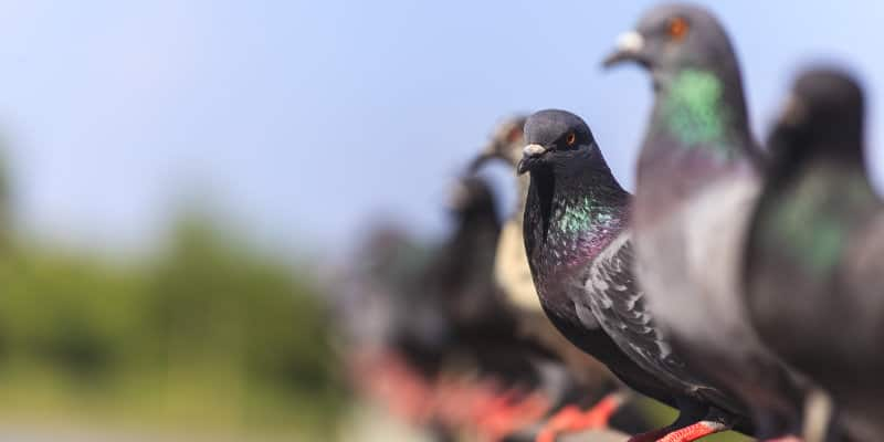 Feral Pigeon Control Glasgow - Pest Solutions - Pest Bird Control