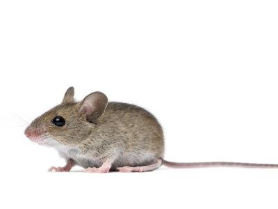 Field Mouse (Apodemus sylvaticus) - Pest Solutions - Pest Control