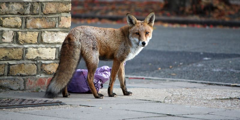 Fox Trapping Glasgow - Pest Solutions - Pest Prevention