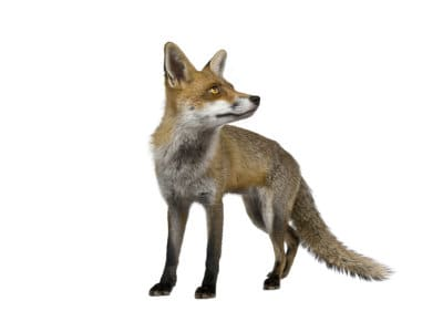 Foxes (Vulpes vulpes) - Pest Solutions - Pest Control