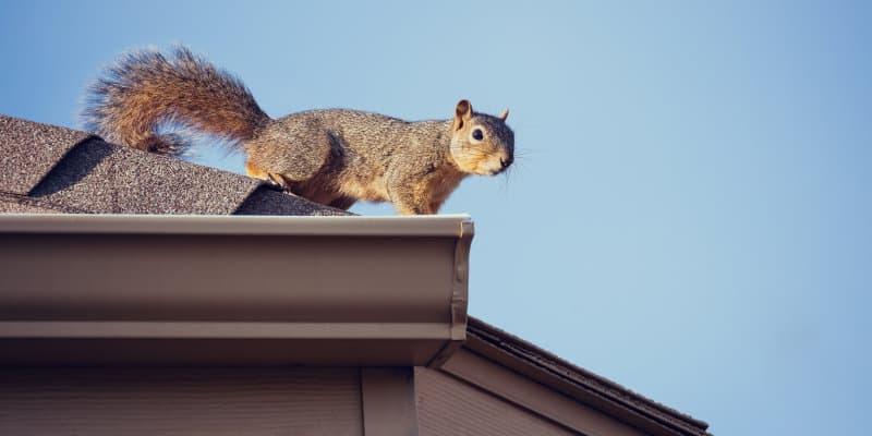Grey Squirrels (Sciurus carolinensis) - Pest Solutions - Pest Prevention Glasgow