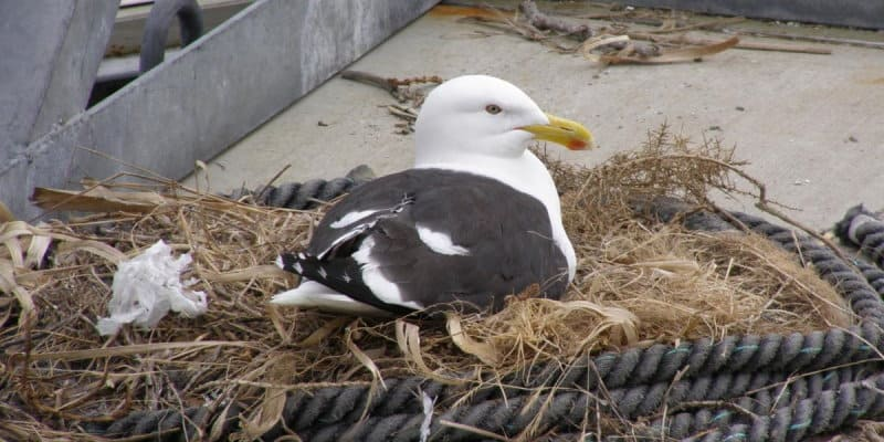 Gull Nest Removal Glasgow - Pest Solutions - Pest Bird Control