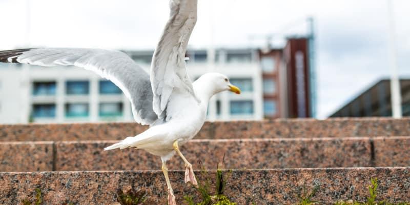 Gulls (Laridae spp.) - Seagull - Pest Solutions - Pest Prevention