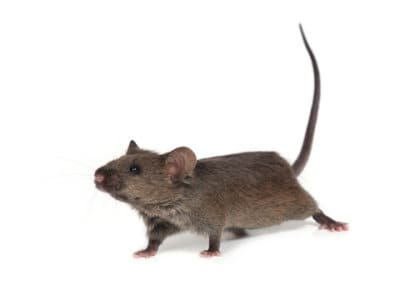 House Mouse (Mus domesticus) - Pest Solutions - Pest Control
