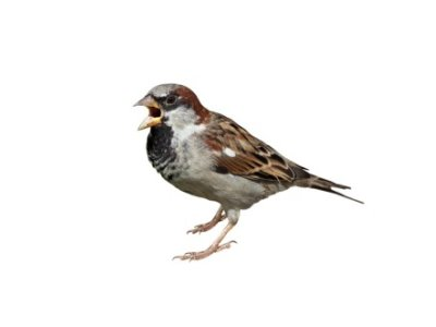 House Sparrows (Passer domesticus) - Pest Solutions - Pest Control