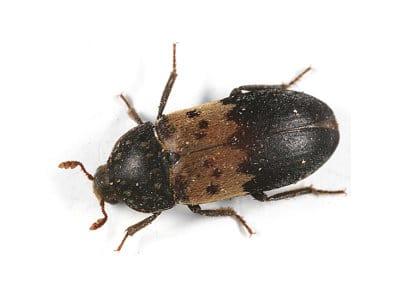 Larder Beetle (Dermestes lardarius) - Pest Solutions - Pest Control