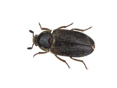 Leather Beetle (Dermestes maculatus) - Pest Solutions - Pest Control
