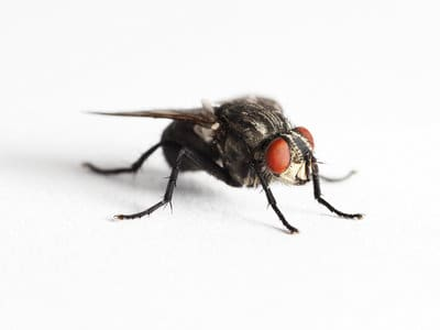 Lesser House Flies (Fannia canicularis) - Pest Solutions - Pest Control