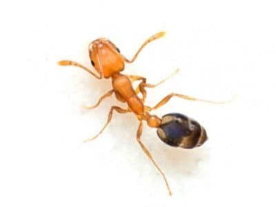 Pharaohs Ants (Monomorium pharaonis) - Pest Solutions - Pest Prevention