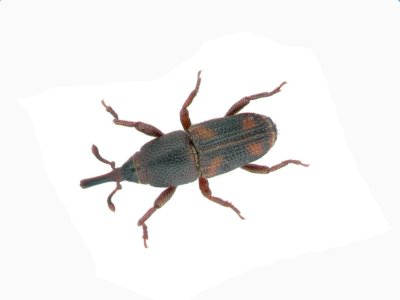 Rice Weevil (Sitophilus Oryzae) - Pest Solutions - Pest Control
