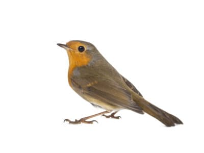 Robins (Erithacus rubecula) - Pest Solutions - Pest Control