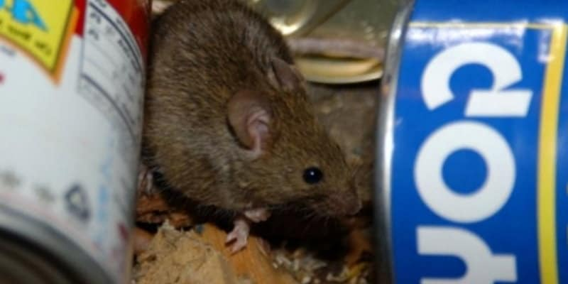 Rodent in Rubish - Rat - Rat Control Glasgow - Pest Solutions