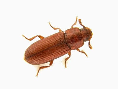 Rust Red Flour Beetle (Tribolium Castaneum) - Pest Solutions - Pest Control