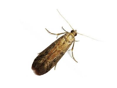 Warehouse Moth (Ephestia Elutella) - Pest Solutions - Pest Control